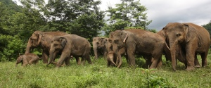 Elephants in Thailand's Elephant Nature Park